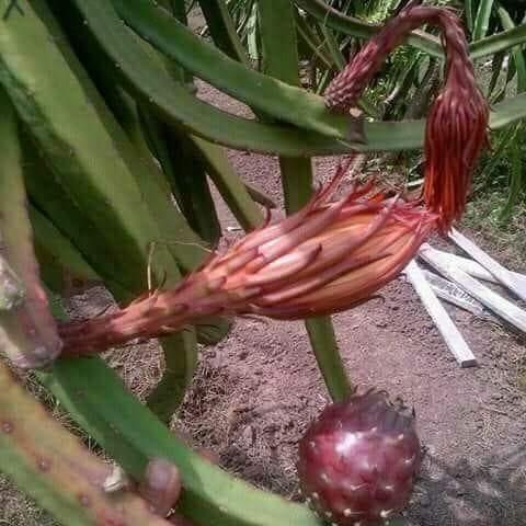 Ejder Meyvesi Pitaya African Black