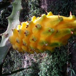 pitaya colombia yellow