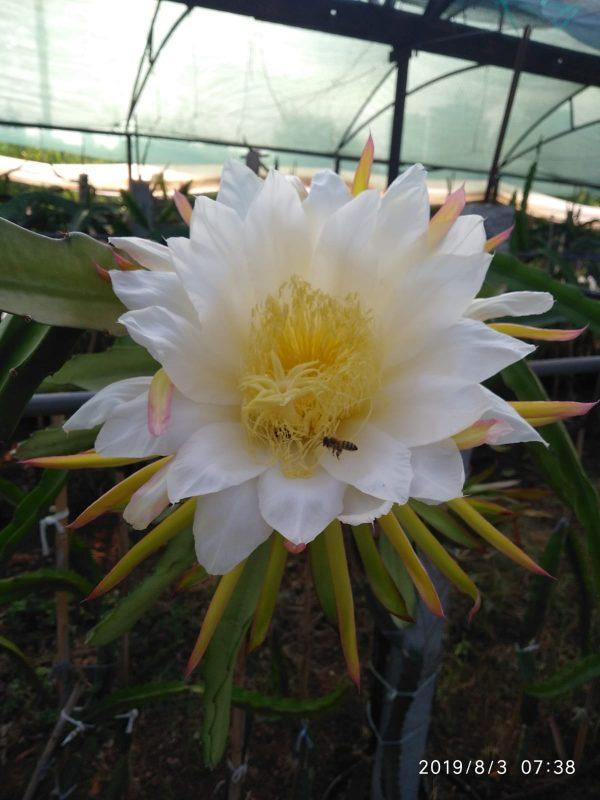 Gecenin Kraliçesi Ejder Meyvesi Çiçeği