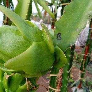Pitaya saphire white