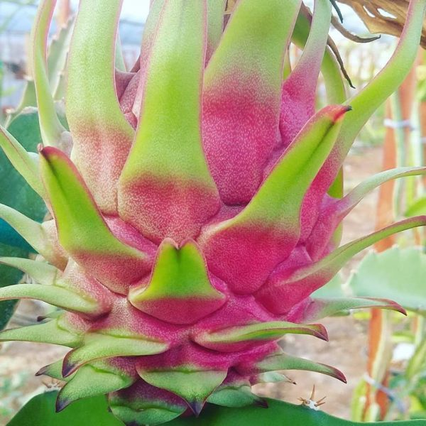 Pitaya Phlippines Red 1 Adet Kesme Dal
