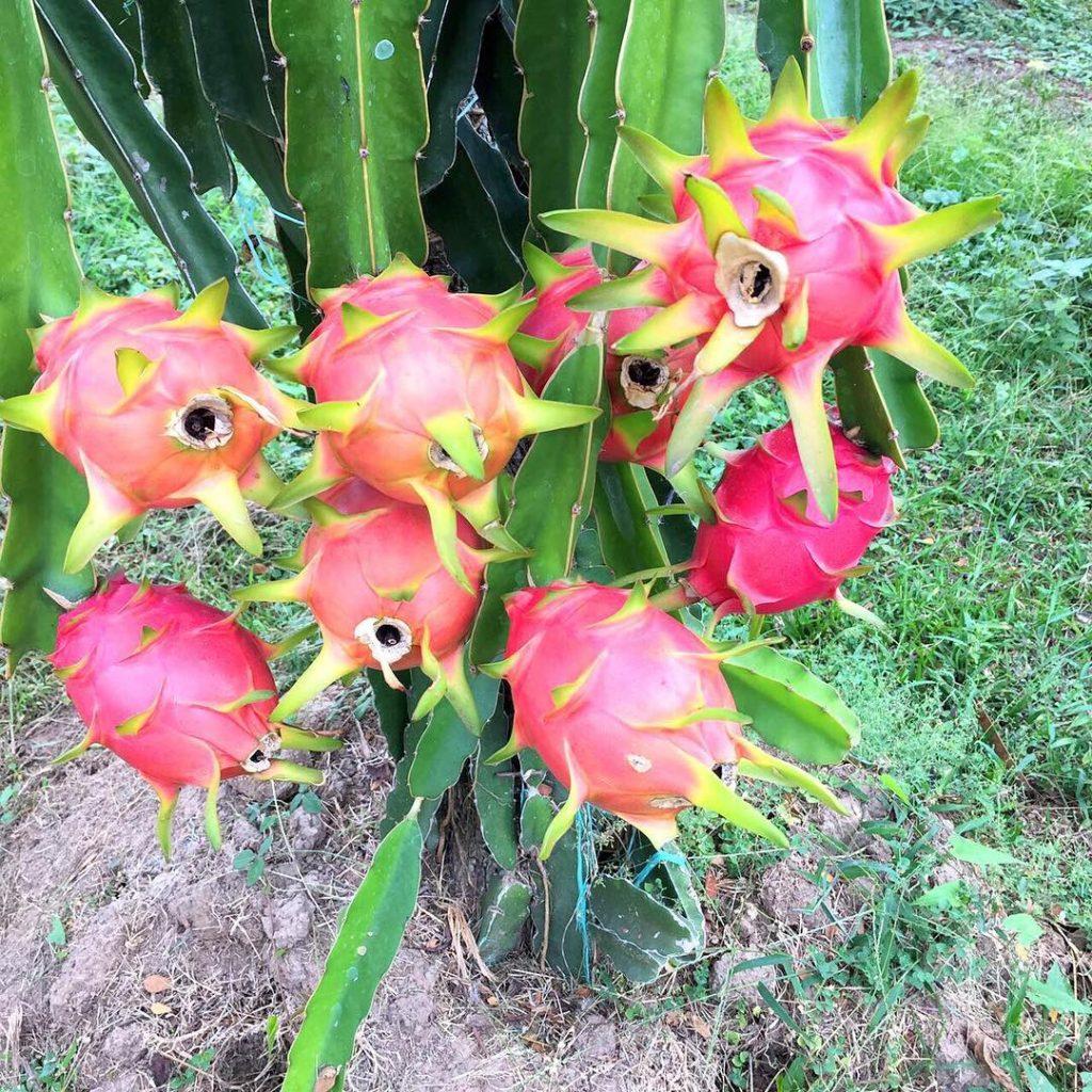 Pitaya Yetiştirilirken Dekar Başı Meyve Hesabı