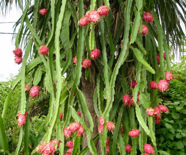 Ejder Meyvesi Meyve Dalı